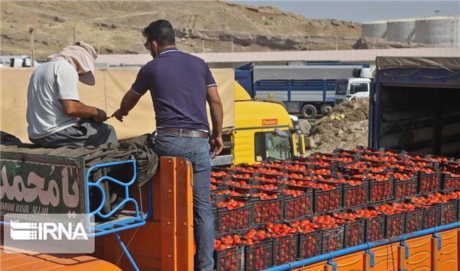 نداشتن شناخت از بازار عراق دلیل مرجوع شدن گوجه فرنگی