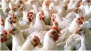 قیمت مرغ در اقلیم کردستان دو برابر شد / نظر مقامات دولتی و بخش خصوصی