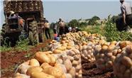 گزارشی از وضعیت تولید سیب زمینی در کردستان عراق