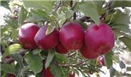 منتفی شدن ممنوعیت صادرات سیب درختی