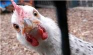 کاهش قیمت مرغ در کردستان عراق